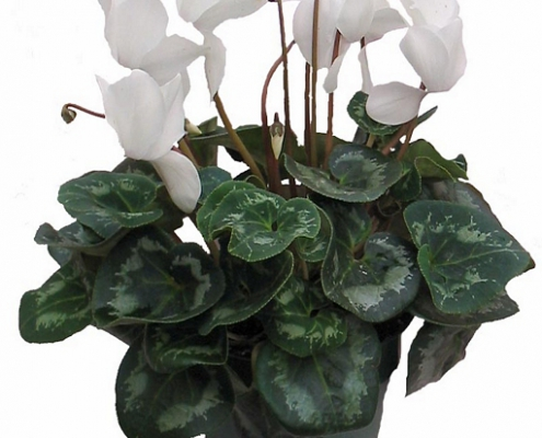 cyclamen 495x400 Topfpflanzen, Gestecke, Pflanzschalen