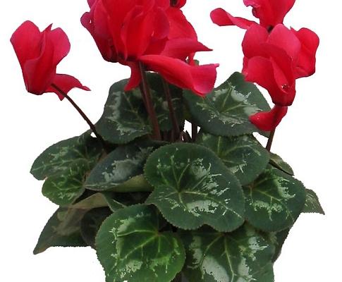 cyclamen1 485x400 Topfpflanzen, Gestecke, Pflanzschalen