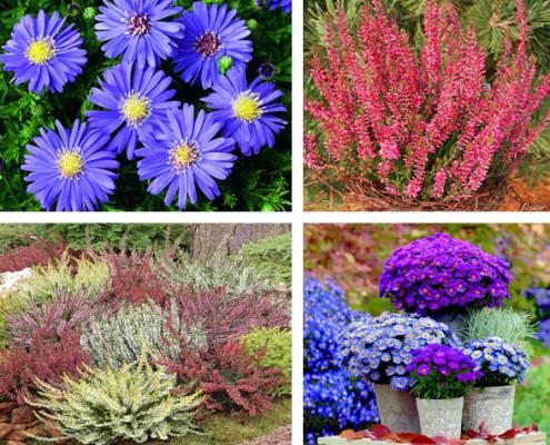 heidebluetenfest 495x400 Topfpflanzen, Gestecke, Pflanzschalen